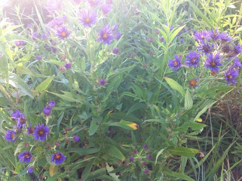 Purple aster June 2012